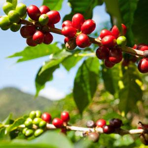 Nicaragua Reynaldo Mairena Green Coffee Beans 16oz Bag Mt